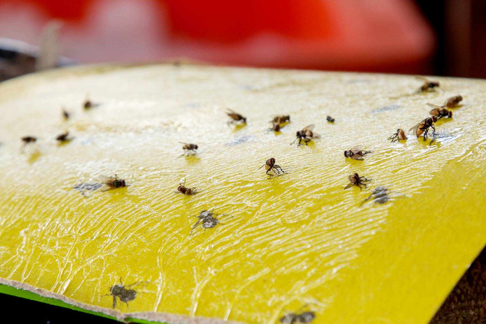 fruit fly pest control