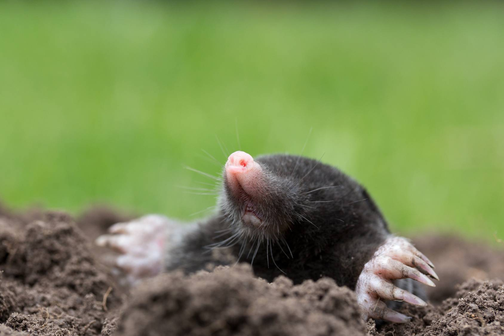 mole control and removal