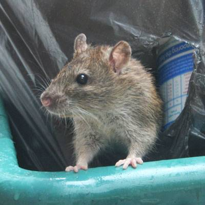 rat infestation in bin