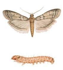 tropical warehouse moth