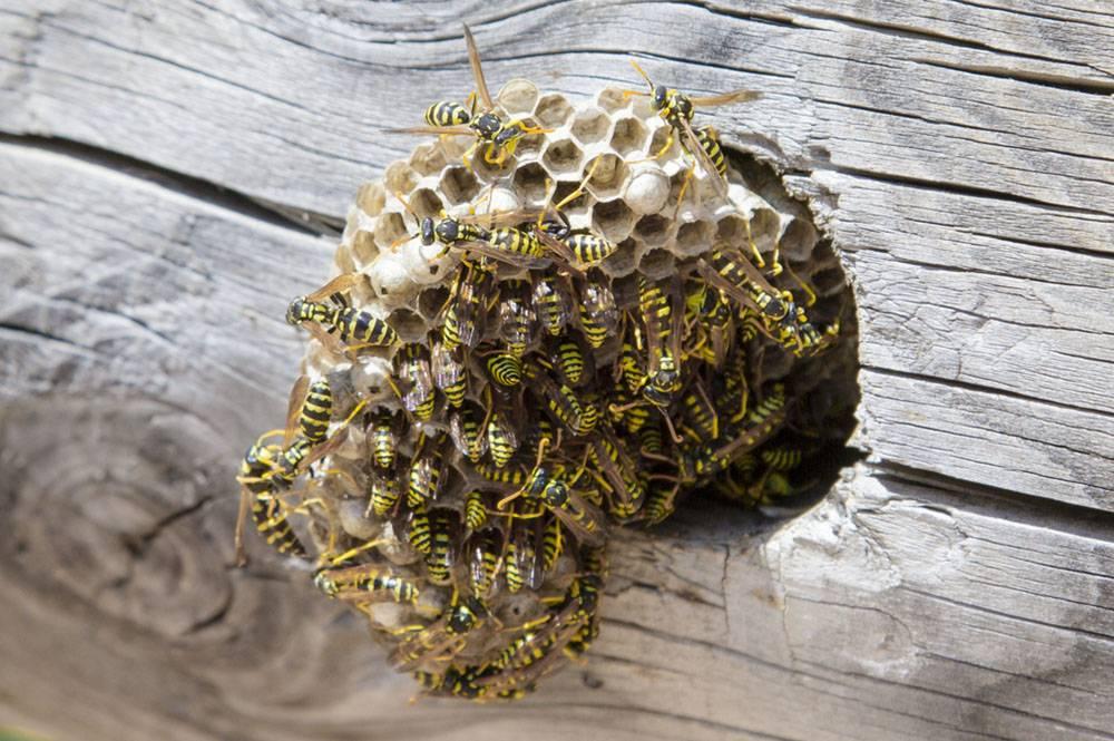 wasps bees