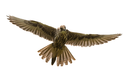 bird of prey pest control
