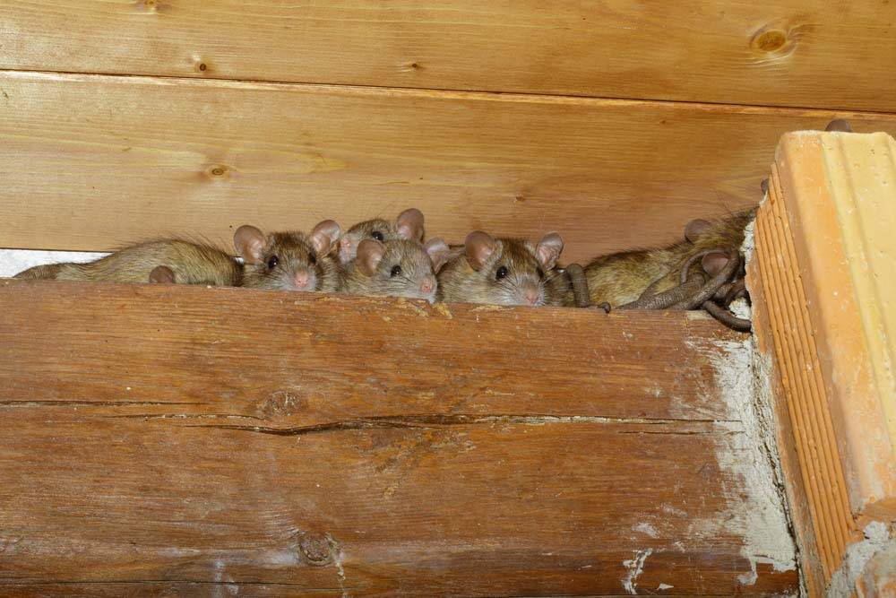 rat infestation with rats in wall