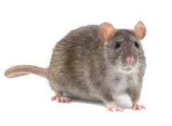 rat on isolated background