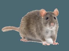 rat on isolated background