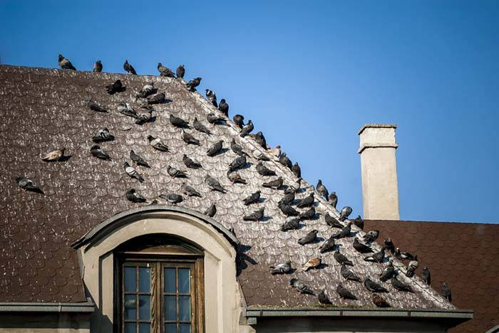 pigeons roosting on roof with pigeon droppings covering the roof
